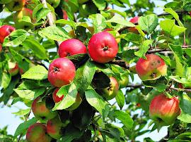 Äpplen på  ön