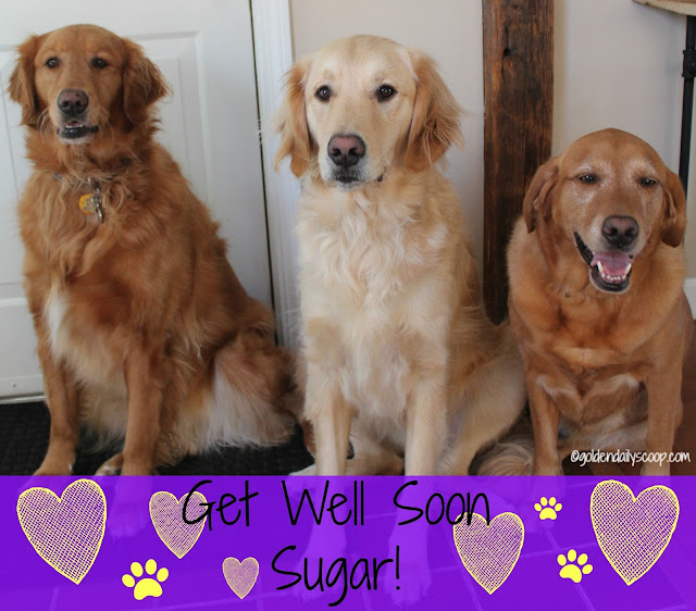 get well wishes for sugar the golden retriever smiles for sugar