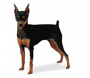 Giống chó pinscher thường hay được cắt đuôi
