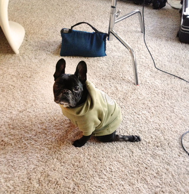 LeRoy, frenchie in a sweatshirt