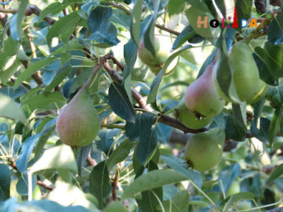 Fruits on trees in Tirthan