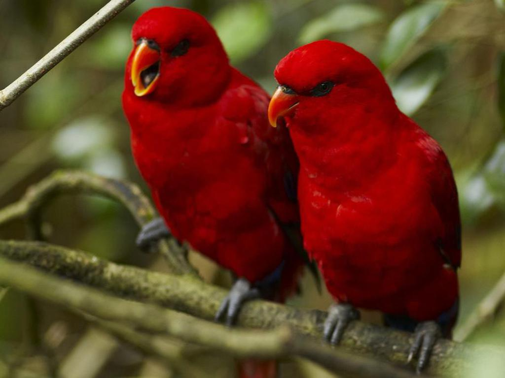 Blood red parrots keeping each other company and sharing the love in