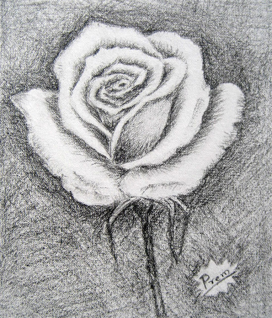 Sketch of a White Rose