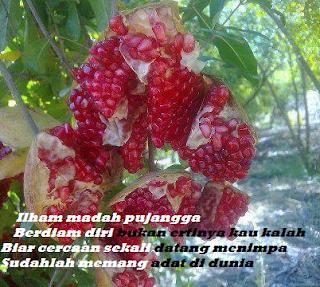 Delima merah, ilham madah pujangga, delima merekah yang memberi ilham, madah pujangga ibarat buah delima yang ranum merekah mengeluarkan isinya yang merah daan berseri