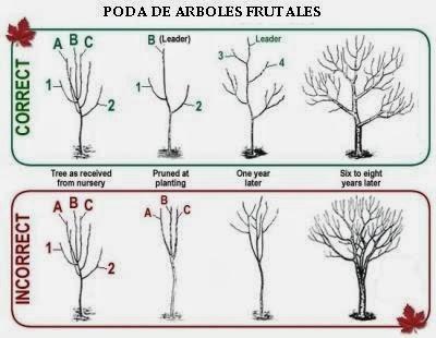 Conoblog frutales tipos de poda - Poda del cerezo joven ...