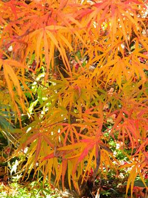 Acer palmatum linearlobum Japanese maple fall foliage at Toronto Botanical Garden by garden muses-not another Toronto gardening blog