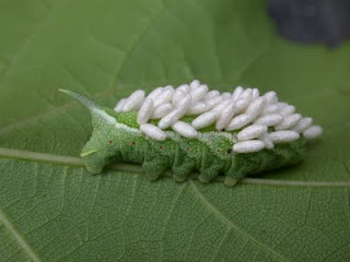 http://4.bp.blogspot.com/-8zfuzuwANjs/Tib0Vt_iPoI/AAAAAAAAA18/hWs1A-dAnl0/s1600/Tomato+worm+with+eggs+of+parasitic+wasp.JPG