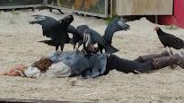 La bataille de Pavie, une des scènes préférées du public...