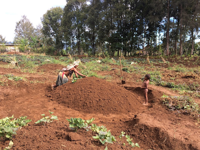 Planting sweet potato in the soil mound - Hela Province, Papua New Guinea
