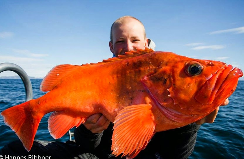 Big fishes of the world redfish atlantic sebastes marinus for Red fish pictures