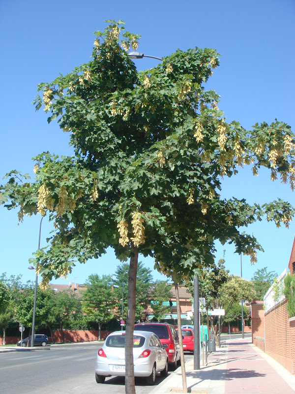 Flora urbana de getafe arce blanco - Arce arbol espana ...