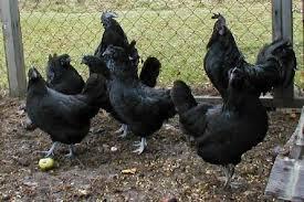 ayam cemani pesugihan