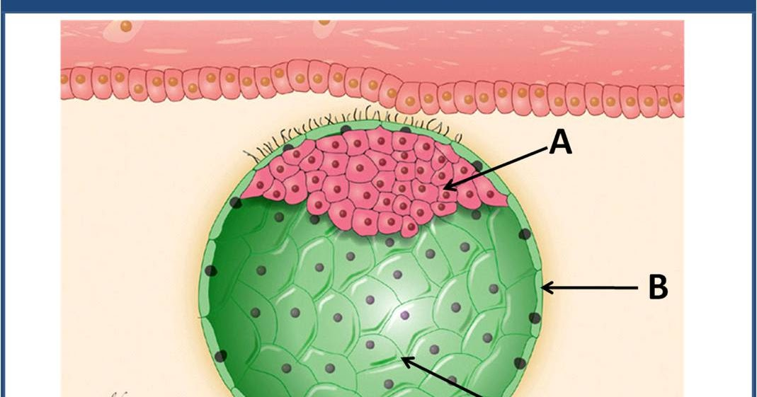 SOS EMBRIOLOGIA HUMANA: Blastocisto