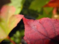 liquidambar en otoño