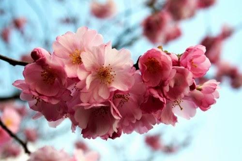 Die japanische kirschblüte frank rasch