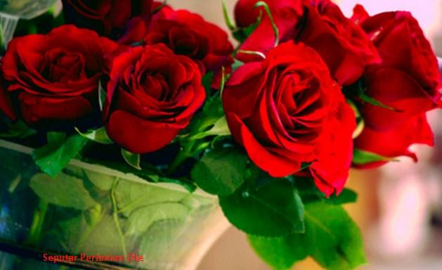 10 Jenis Bunga Mawar Terindah Yang Belum Anda Ketahui Bermacam Tanaman Hias