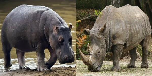 Hippopotamus Vs Elephant