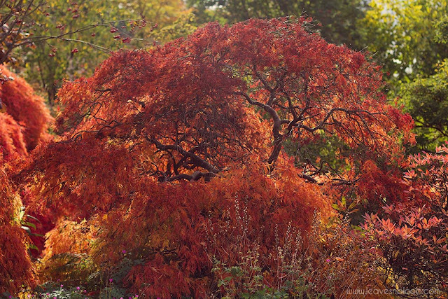 back lighting on acer tree in autumn