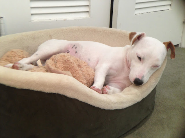 dog sleeping with stuffed animal