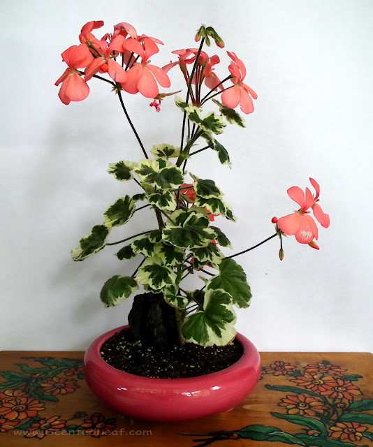 "Pink flower arrangement with Pelargonium zonale ""Frank Headley"""
