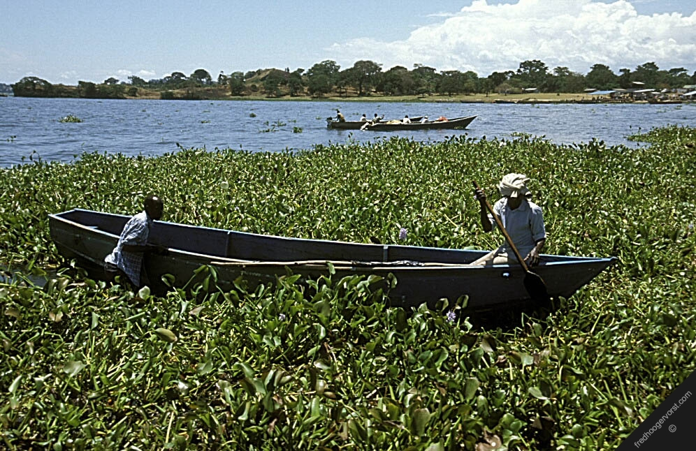 Image result for lake victoria water hyacinth