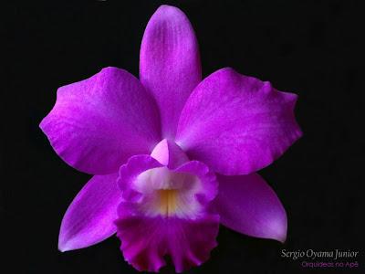 Mini-orquídea Laeliocattleya Mini Purple