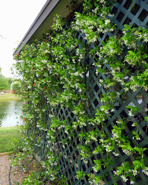 how to grow star jasmine on a wall