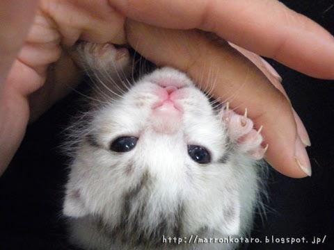 舌を出している仔猫の写真