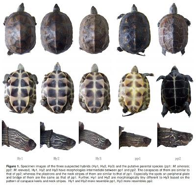 Mauremys Sinensis Distribution And Mauremys Sinensis