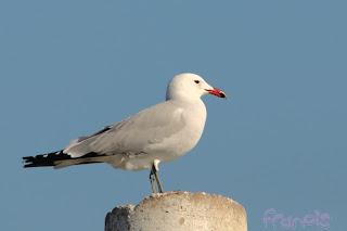 Larus audouinii (Gaviota de Audouin - Audouin's Gull)