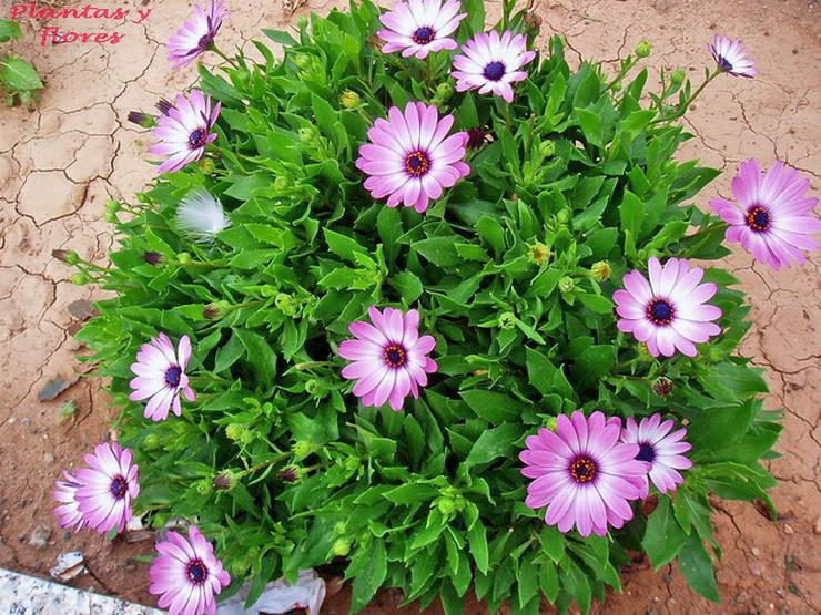 Plantas y flores Osteospermum fruticosum