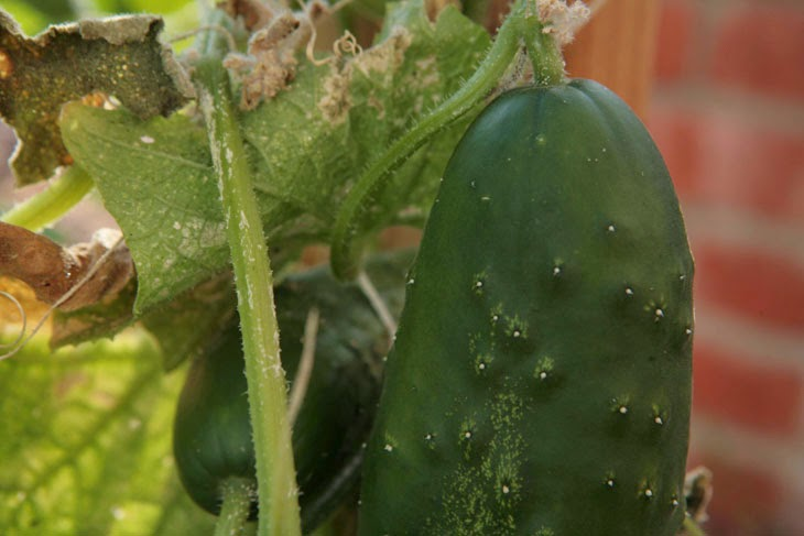 Big and beautiful cucumbers. - He Started With Some Boxes, 60 Days Later, The Neighbors Could Not Believe What He Built