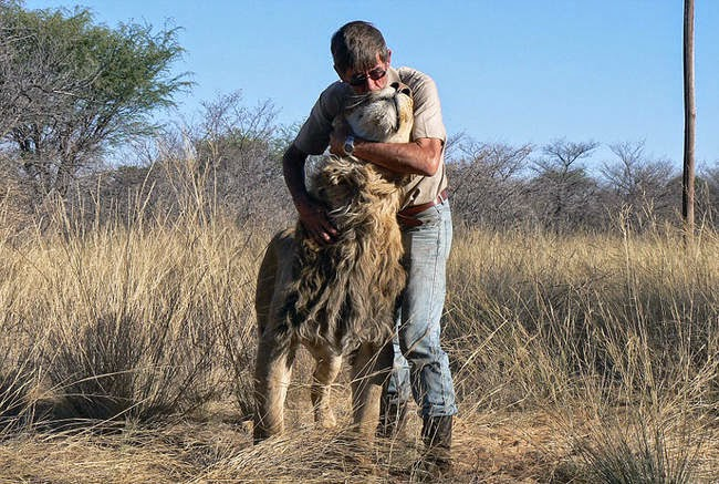 Without the typical aggressive upbringing, Zion proves that lions aren't all the same. - This Is The Story Of A Man And His Best Friend, A Lion Named Zion
