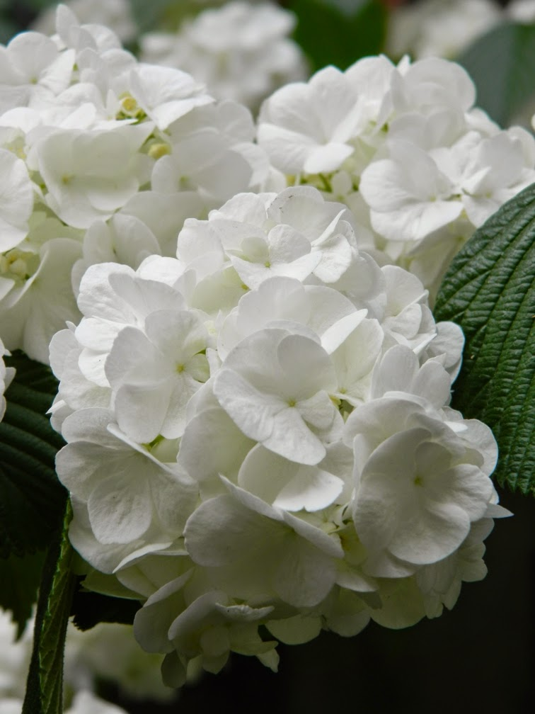Popcorn doublefile viburnum plicatum blooms by garden muses-not another Toronto gardening blog