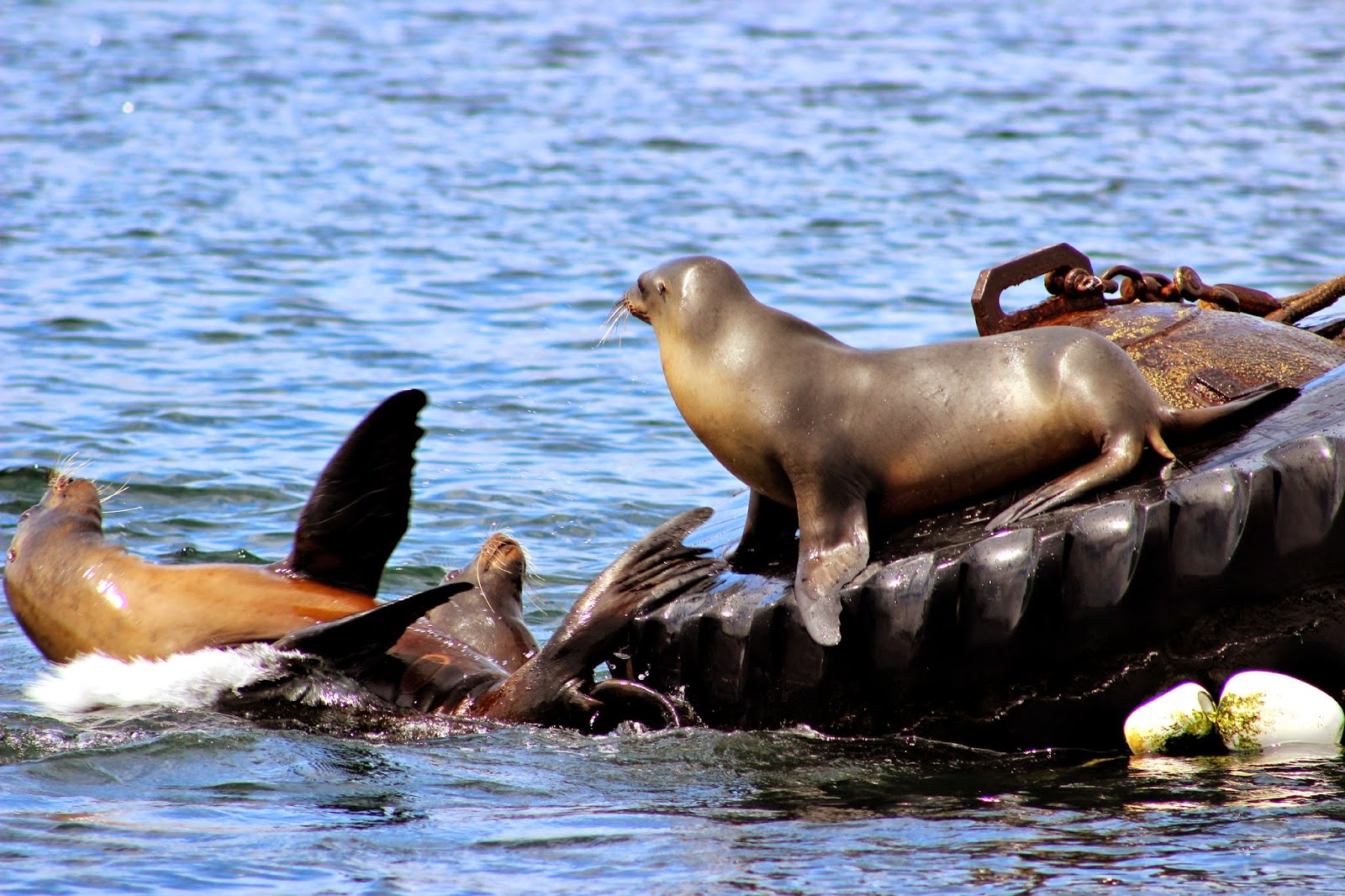 Sea lions in Monterey