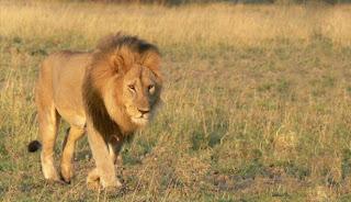 Bercinta di Hutan, Pasangan Remaja Diterkam Singa | artis | unik | wanita | tips | foto | sepakbola