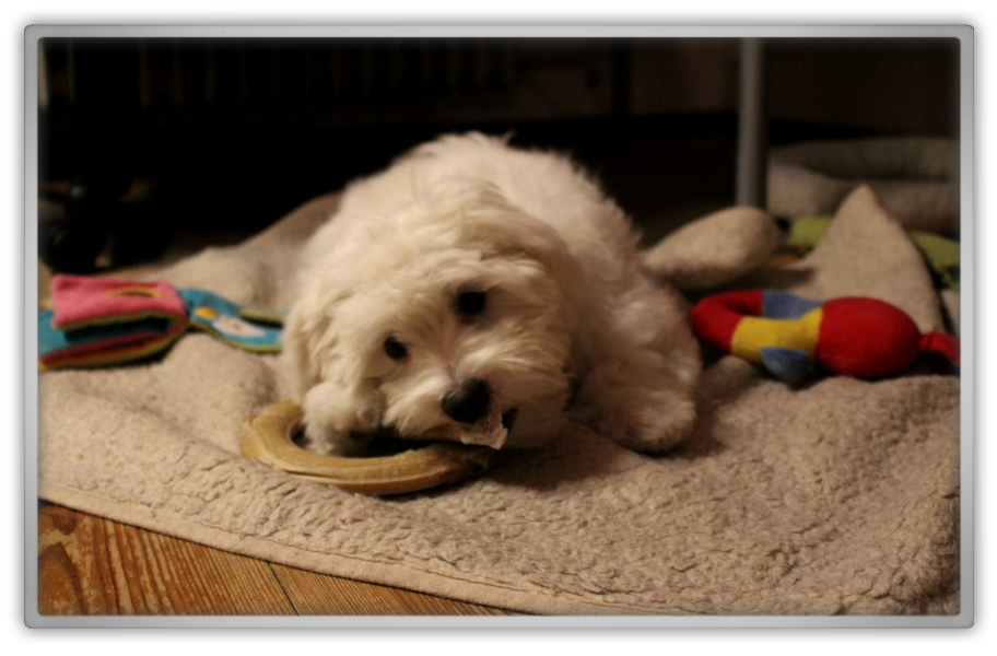 jofee jonathan saccone joly maltese dog puppy 16 weeks old 4 months cute adorable teething marjolein kucmer sleeping