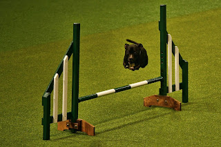Fabulous flying staffie demonstrates agility