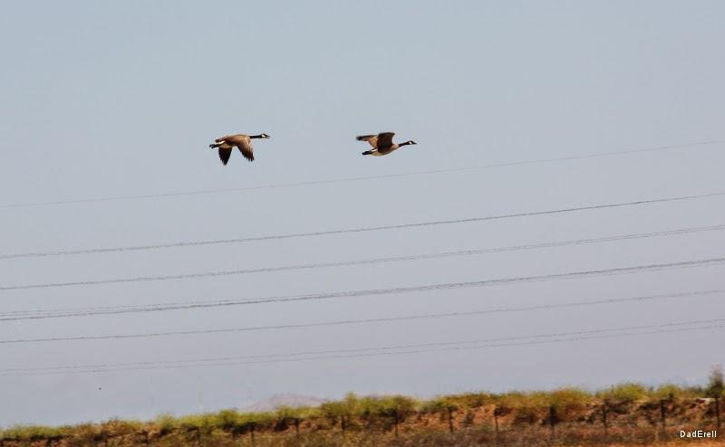 Oies bernache du Canada en vol au-dessus de l'aéroport de Palo Alto