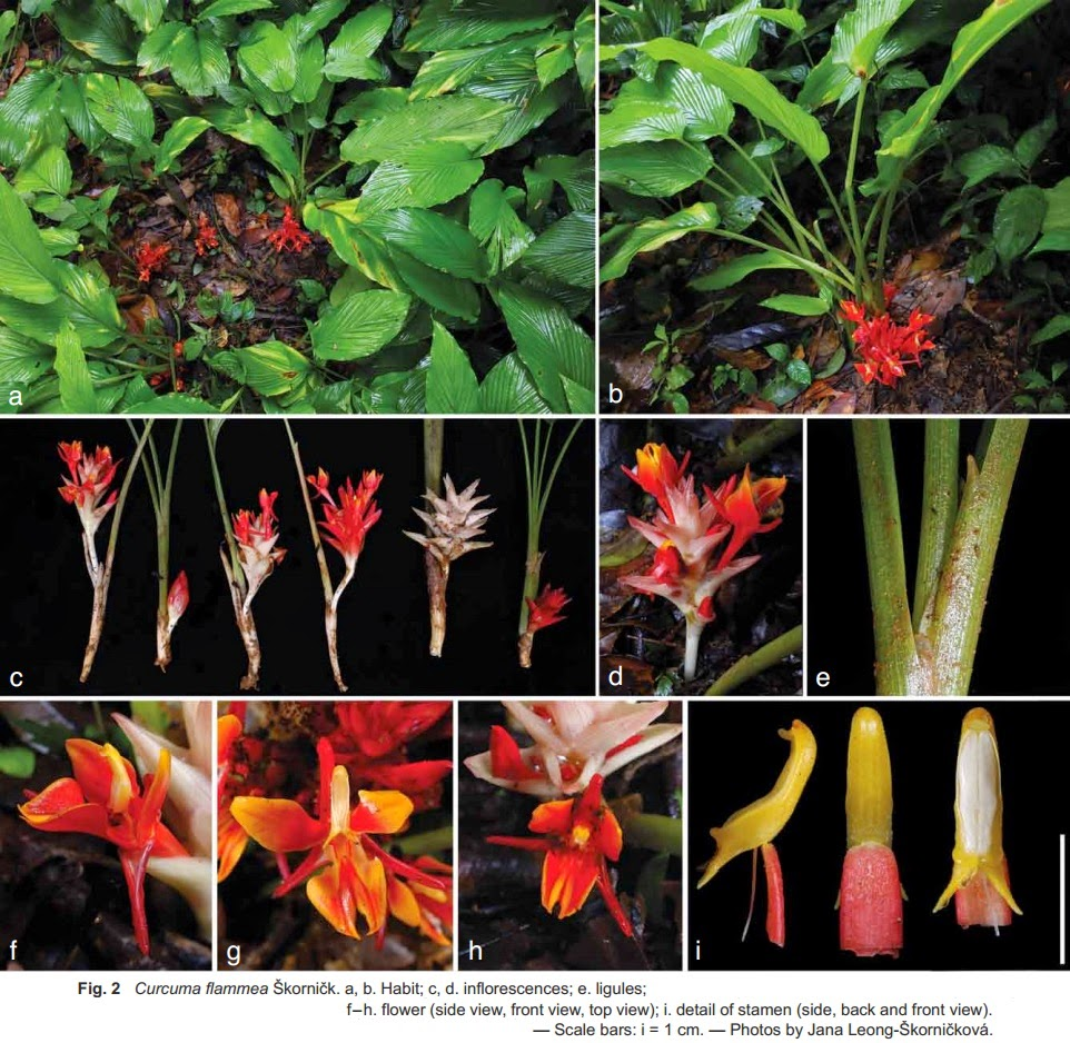 Three New Ginger Species (Zingiberaceae) from Laos