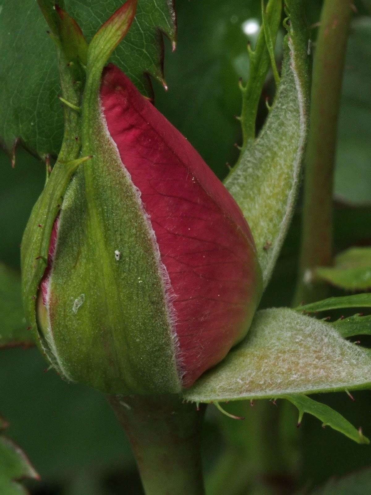 Rosebud #centralpark #rosebud #rose #shakespearesgarden #nyc 2014