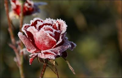 red flower full of snow
