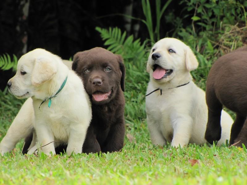 dog care As Melhores Raças de Cães para Família
