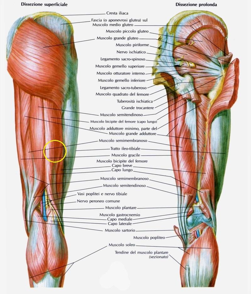 La contrazione muscolare running for passion - Ipertrofia dei turbinati puo portare acufene ...