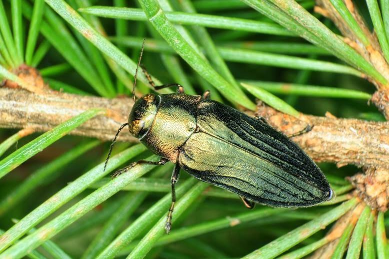 Phaenops marmottani