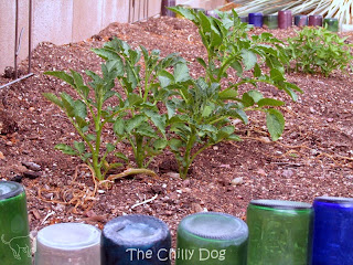 Garden: Can you grow potatoes in the desert?