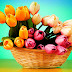 Tulips Flowers in Basket photos wallpapers