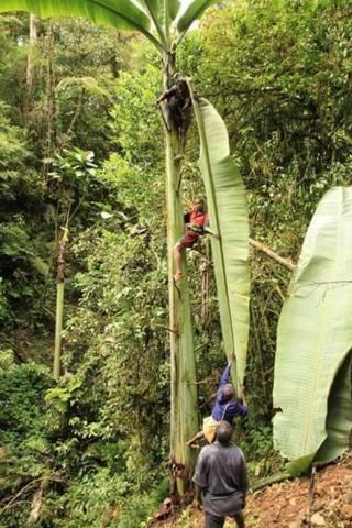 Daun pohon pisang raksasa sepanjang 5 meter
