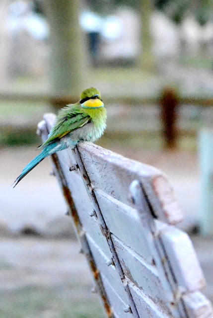 Fluffed up Swallow-tailed Bee-eater