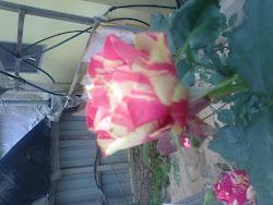 PINGSPAK ROSE
